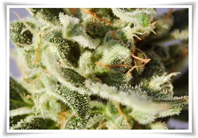 el-cannabis-terapeutico