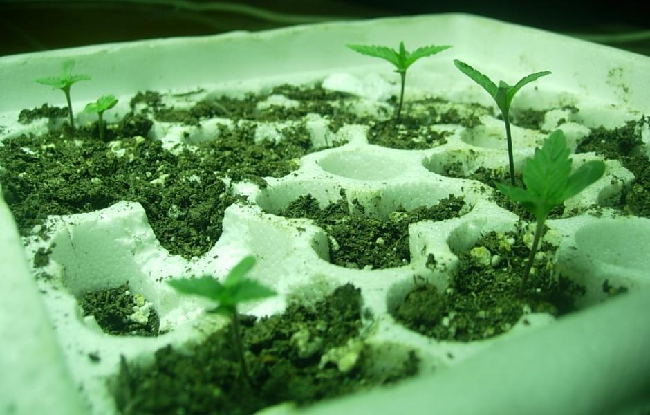 marihuana_cultivo_maihuana_cultivo_plantacion_maria