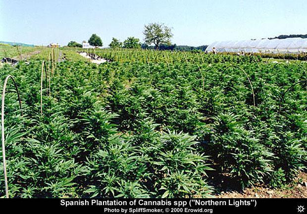 Marihuana y Crisis.